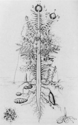 Goethe - Urpflanze